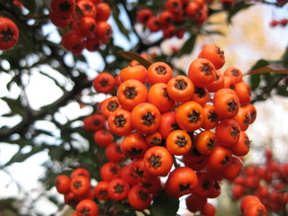 Decorative shrub branch with red berries