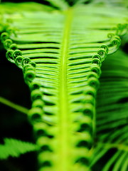 Growing: Young fern leaf unrolling to become it's full size