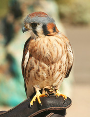 An American Kestrel Perches on a Falconer's Glove