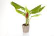 plante curcuma dans pot déco osier