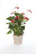 anthurium rouge dans pot déco osier