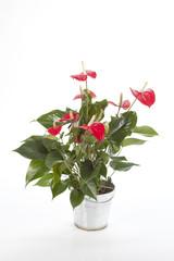 anthurium rouge dans pot déco alu
