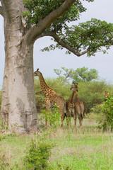 Groupe de girafe
