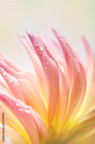 Foto op Canvas Dahlia Pastellfarbene Dahlie mit Tautropfen