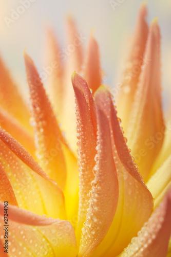 Obraz na Plexi Pastellfarbene Dahlie mit Tautropfen