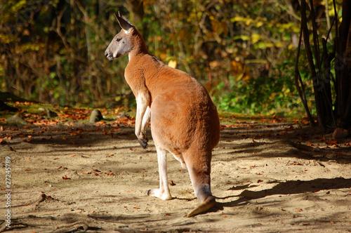 Foto op Aluminium Kangoeroe Kangaroo full size