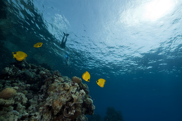 Butterflyfish  in the Red Sea.
