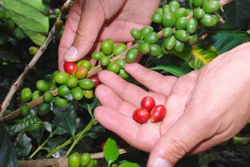 RECCIÓN DE CAFE- EJE CAFETERO COLOMBIA