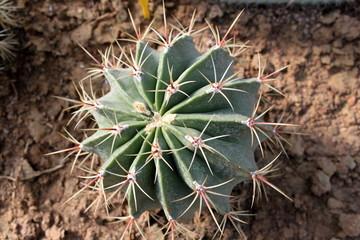 Paris16-Serres-d'Auteuil:Cactus