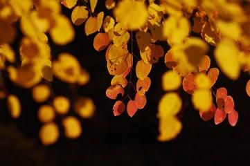 秋のカツラ