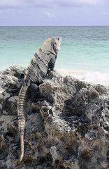 Iguana on rock at Caribbean beach