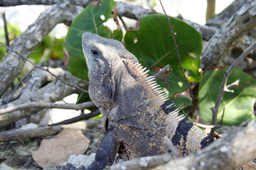 Iguana in jungle near beach in Mexico