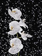 water splashing on white orchids on stem