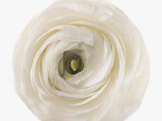 close up of white ranunculus
