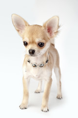 beautiful chihuahua puppy with necklace