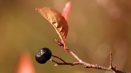 Wild bilberry on the twig, autumn season. Close up.