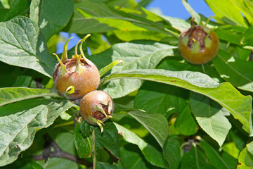 Medlar - a rare fruit with excellent taste
