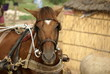 Senegal Horse