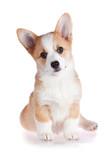 Pembroke Welsh Corgi puppy poster