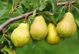 Vier reife Birnen am Birnbaum - 4 Delicious Pears