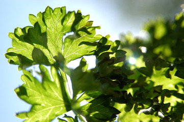 curly-leaved parsley in sun