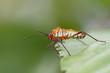 dysdercus albofasciatus