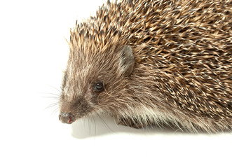 young prickly hedgehog in studio