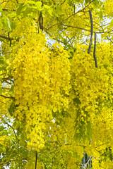 National tree of Thailand Golden Shower Tree Art Print