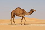 Empty Quarter Camel