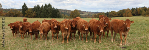 Papiers peints Vache Vaches Limousines