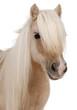 Palomino Shetland pony, Equus caballus, 3 years old - 27336948