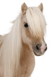 Palomino Shetland pony, Equus caballus, 3 years old poster