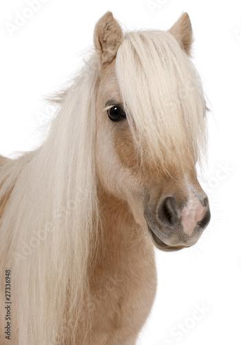 Leinwandbilder,pferd,pony,shetland,close-up