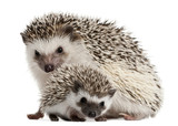Fototapety Four-toed Hedgehogs, Atelerix albiventris, 3 weeks old