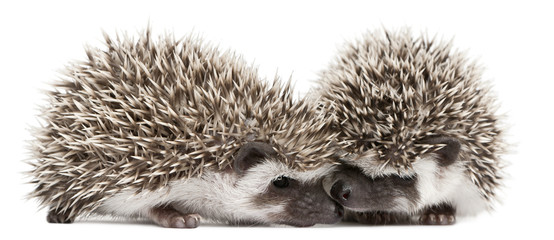 Four-toed Hedgehogs, Atelerix albiventris, 3 weeks old