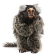 Common Marmoset, Callithrix jacchus, 2 years old, eating worm