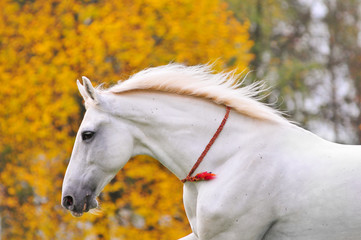 White horse portrait with yellow autumn background