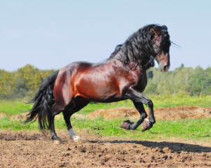 Bay andalusian horse stallion