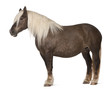 Comtois horse, a draft horse, Equus caballus, 10 years old