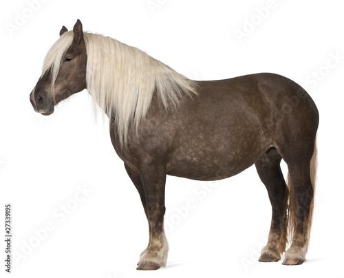 Papiers peints Chevaux Comtois horse, a draft horse, Equus caballus, 10 years old