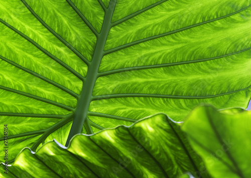 tropical leaf detail green texture background © kikkerdirk