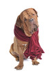 Big Dog wearing warm Red Scarf