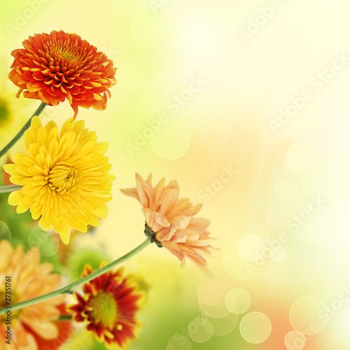 Colorful mums flowers on warm bokeh background