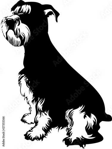 Black and white schnauzer