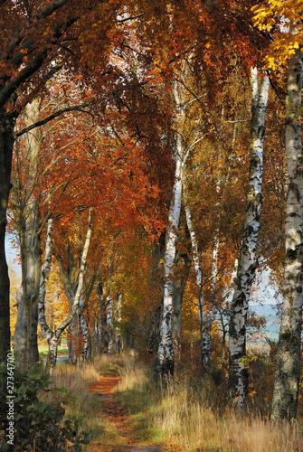 Obraz Birch Alley in Autumn