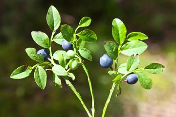 Bilberry - Vaccinium myrtillus