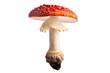 Leinwanddruck Bild - fly mushroom