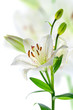 Beautiful lily flowers, isolated on white