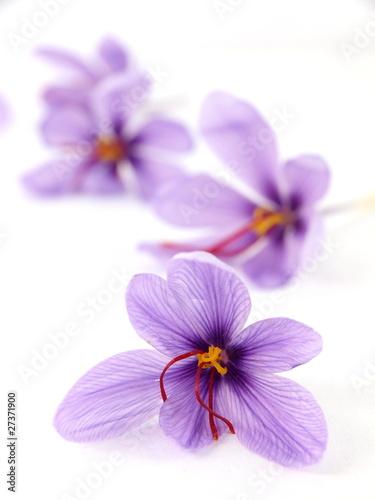 Fotobehang Krokus Close up of beautiful blue Saffron Crocus flowers