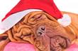 Dreaming Santa Dog